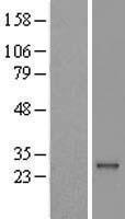NBL1-15077 - RAB41 Lysate