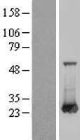 NBL1-15084 - RAB6A Lysate