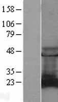 NBL1-15092 - RAB9A Lysate