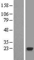 NBL1-15102 - RABL4 Lysate