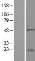 NBL1-15103 - RABL5 Lysate