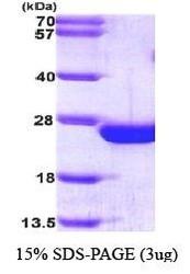 NBP1-30199 - RAC2