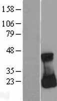 NBL1-15107 - RAC3 Lysate