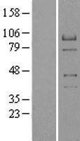 NBL1-15108 - RACGAP1 Lysate