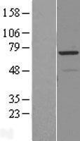 NBL1-15113 - RAD18 Lysate