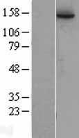 NBL1-15116 - RAD50 Lysate