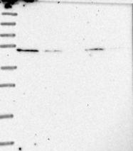 NBP1-83452 - RAD9B