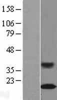 NBL1-15126 - RAG1AP1 Lysate