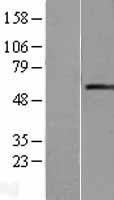 NBL1-15127 - RAG2 Lysate