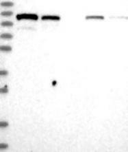 NBP1-94075 - Ankycorbin / RAI14