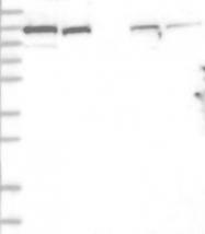 NBP1-94076 - Ankycorbin / RAI14
