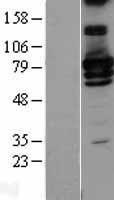 NBL1-15132 - RALBP1 Lysate