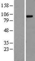 NBL1-15133 - RALGDS Lysate
