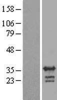 NBL1-15135 - RALYL Lysate
