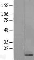 NBL1-15136 - RAMP1 Lysate