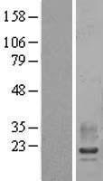 NBL1-15137 - RAMP2 Lysate