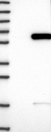 NBP1-82057 - RANBP3L