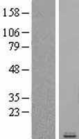 NBL1-08860 - RANTES Lysate