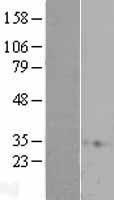 NBL1-15145 - RAP1A Lysate