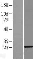 NBL1-15146 - RAP1A Lysate