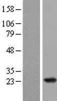 NBL1-15149 - RAP2B Lysate