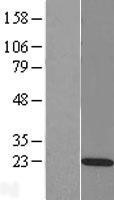 NBL1-15150 - RAP2C Lysate