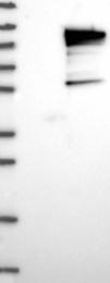 NBP1-87156 - UIMC1 / RAP80