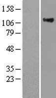 NBL1-15164 - RAS p21 Lysate