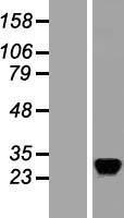 NBL1-15169 - RASD2 Lysate