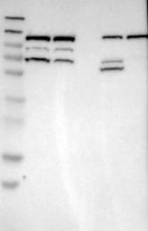 NBP1-83331 - RASGRF2