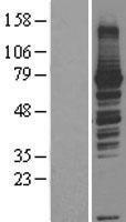 NBL1-15171 - RASGRP3 Lysate