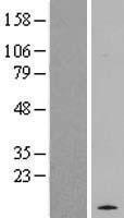 NBL1-15173 - RASL10A Lysate