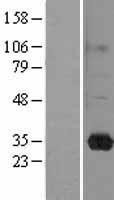 NBL1-15174 - RASL11B Lysate