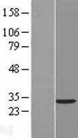 NBL1-15175 - RASL12 Lysate