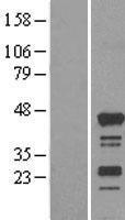 NBL1-15178 - RASSF4 Lysate