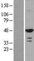 NBL1-15180 - RASSF8 Lysate