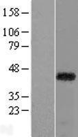 NBL1-15182 - RAX Lysate