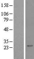 NBL1-15183 - RAX2 Lysate