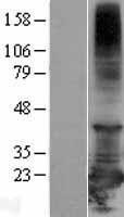 NBL1-15186 - RBBP9 Lysate