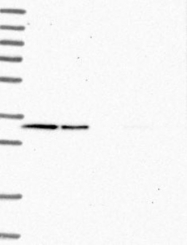 NBP1-89821 - RBFOX3 / NeuN