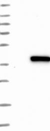 NBP1-84116 - Ribokinase / RBKS