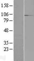 NBL1-15197 - RBM12 Lysate
