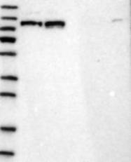 NBP1-82465 - RBM15