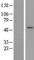 NBL1-15201 - RBM23 Lysate