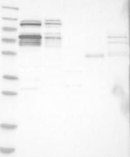 NBP1-84633 - RBM28