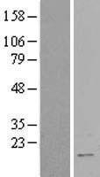 NBL1-15205 - RBM3 Lysate