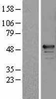 NBL1-15207 - RBM34 Lysate