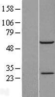 NBL1-15212 - RBM42 Lysate