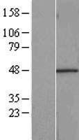 NBL1-15219 - RBMS1 Lysate