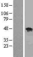 NBL1-15220 - RBMS1 Lysate